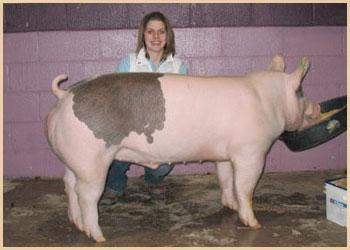Fourth Overall Market Hog