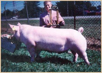 Champion Middleweight Market Hog