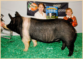 Champion Bred & Owned Hamp Gilt