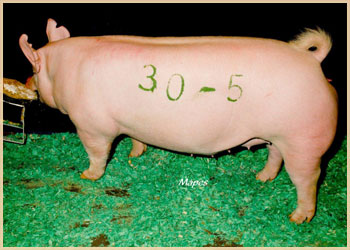 Littermate to the 2nd Top Selling Gilt