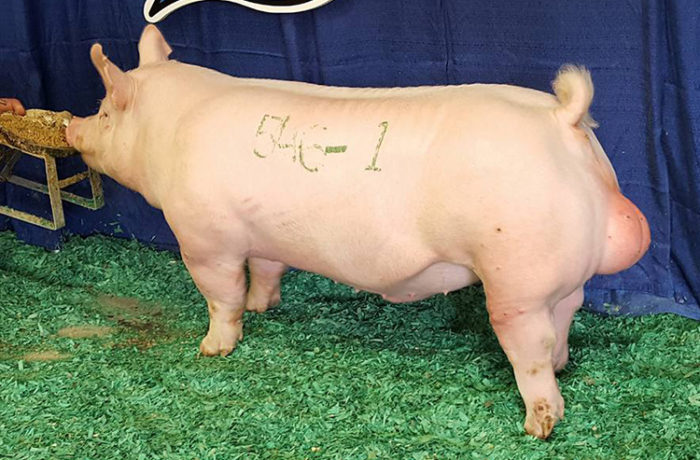 Grand Champion York Boar
